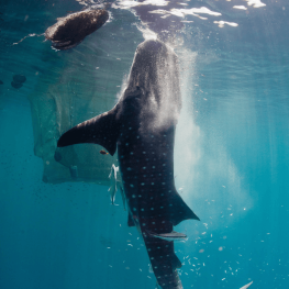 category_ocean_whale-shark