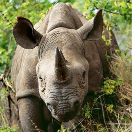 category_rhino
