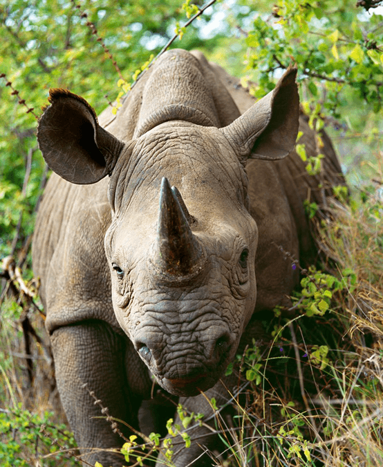 Breeders ask court to end rhino horn trade ban